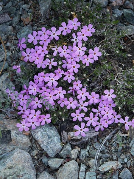 Spreading phlox (Phlox diffusa), a pretty denizen of Horse Mountain. - PHOTO COURTESY SIX RIVERS NATIONAL FOREST
