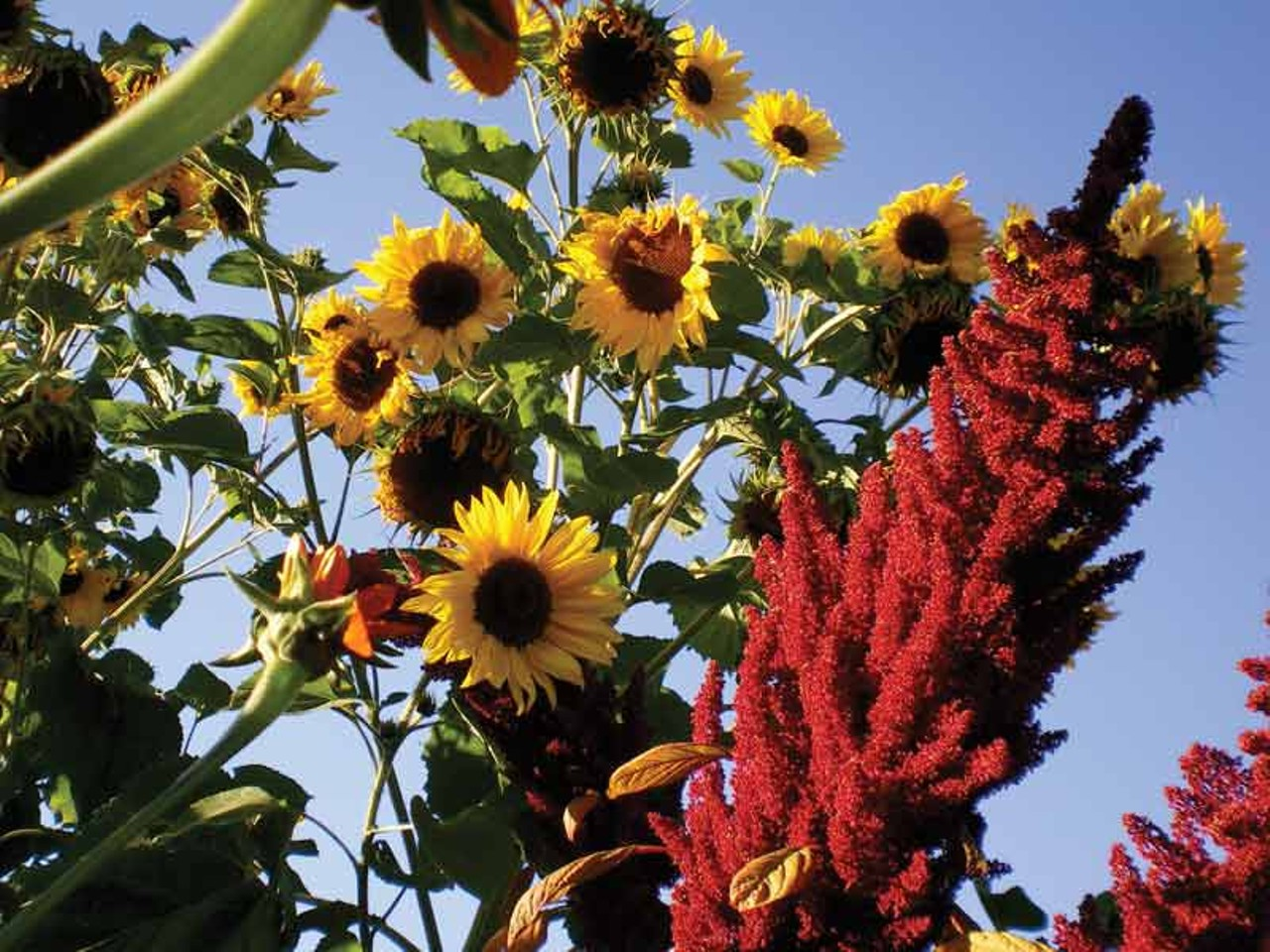 Click To Enlarge PHOTO BY HEATHER JO FLORES   Sunflowers With Amaranth.