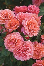 The Easy Does It™ Rose. Photo Courtesy of All-American Rose Selections.