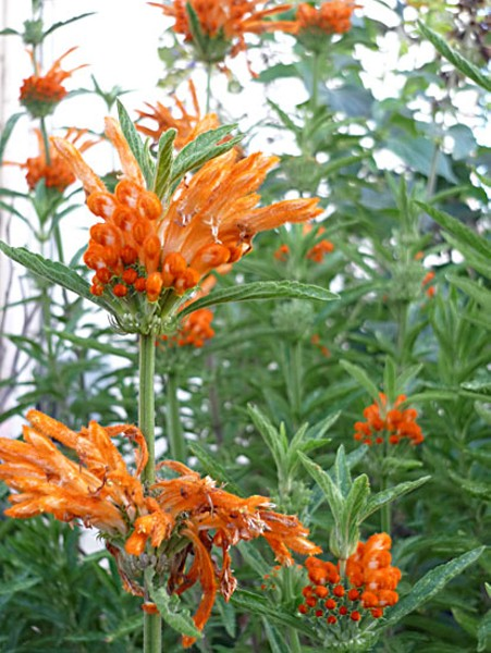 The glorious autumnal delight that is leonotis. Photo by Amy Stewart