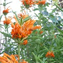 The Mighty Leonotis