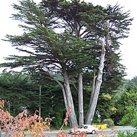 McKinleyville's To Be Tree