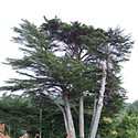 McKinleyville's To Be Tree