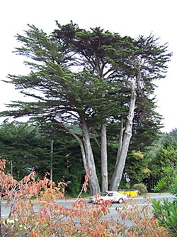 The last of the Heritage Monterey Cypress trees on Central Avenue in McKinleyville. Photo by Heidi Walters