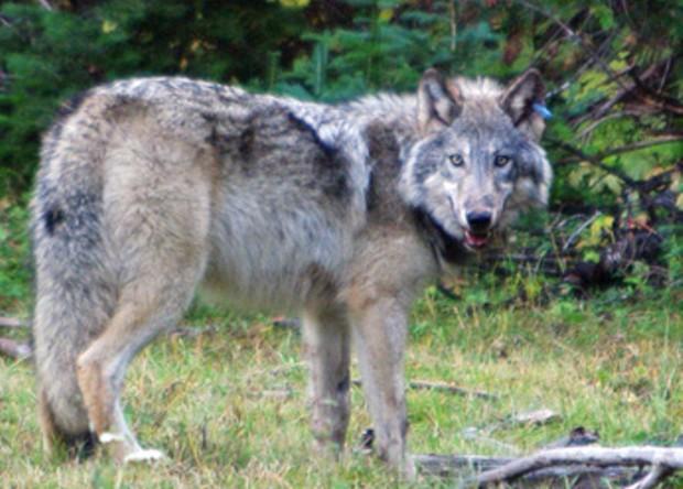 graywolf_or-10_odfw.jpg