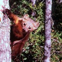 The Marten's Fine, Says the Feds