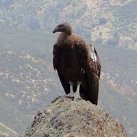 The Pinnacles Condor Experience