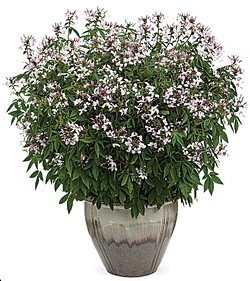 COURTESY OF PROVEN WINNERS PLANTS. - The Seniorita Blanca spider flower: tall, pretty and totally legal.