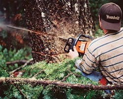 PHOTO BY NADIA KING - The Winner: The sawdust flies as Colin Billings, of Always Fair Tree Care, lays his Stihl blade into a tree in Miranda.