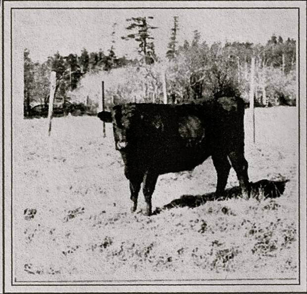 Tough beef: The steer known as 'Captain Courageous.' - PHOTO COURTESY OF THE KLAMATH CHAMBER OF COMMERCE