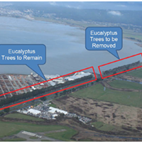 Supes Approve Bay Trail EIR, Eucalyptus Removal but Leave Possibility of Saving the Trees