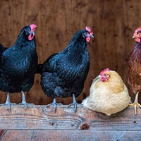 Fairs Cancel Poultry Shows Amid Newcastle Disease Fears