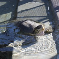 Endangered Sea Turtle Recovering After Washing Up in Humboldt