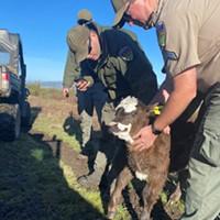 New Calf on the Farm