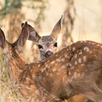 Fish and Wildlife: Don't Take the Fawns (with Video)