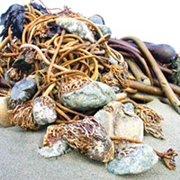 Bull Kelp vs. Bullshit