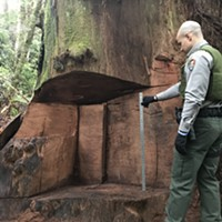 Redwood Burl Poacher Sentenced to Community Service, Probation, Banned from Park
