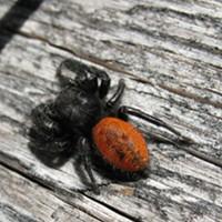 HumBug: Jumping Spiders!