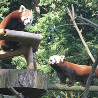 Red Panda Escaped from the Zoo