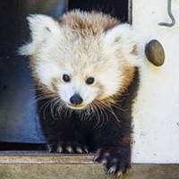 UPDATE: Panda Found