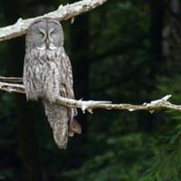 UPDATED: Birders Flock to Great Gray Owl
