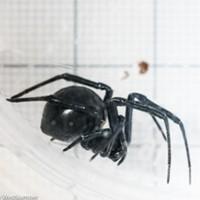 HumBug: Black Widows