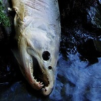 Federal Court Rules in Favor of Salmon