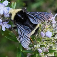 HumBug: In the Key of Bee