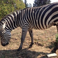 One of Petrolia's Zebras Fatally Shot