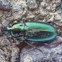 HumBug: Beetles and Gadgets