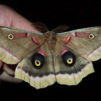 Humbug: That's One Big Moth