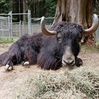 Moses the Yak Dies at the Zoo