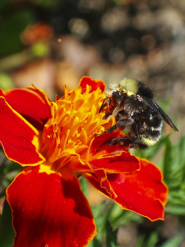 Bumblebee on marigold. - PHOTO BY ANTHONY WESTKAMPER