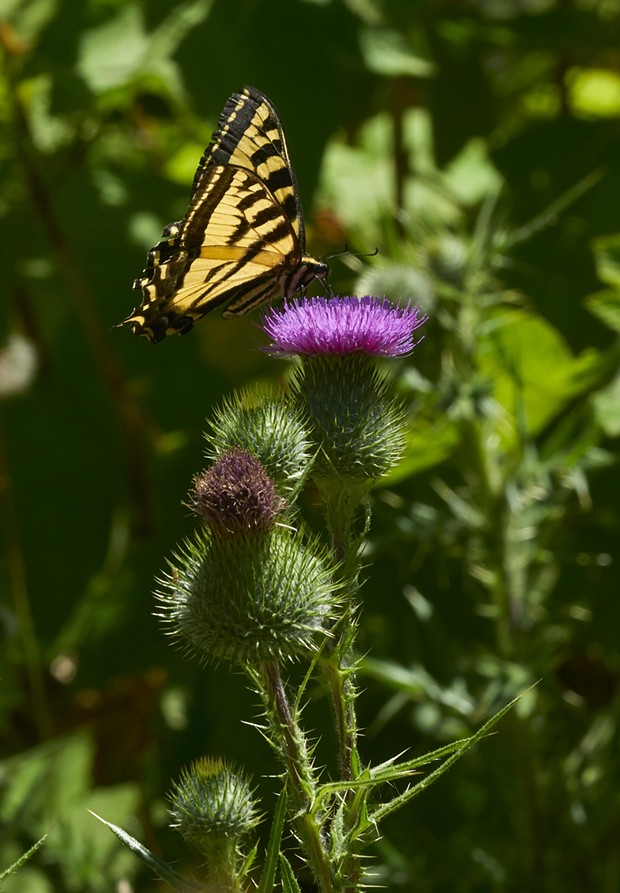Western tiger swallowtail on thistle. - PHOTO BY ANTHONY WESTKAMPER