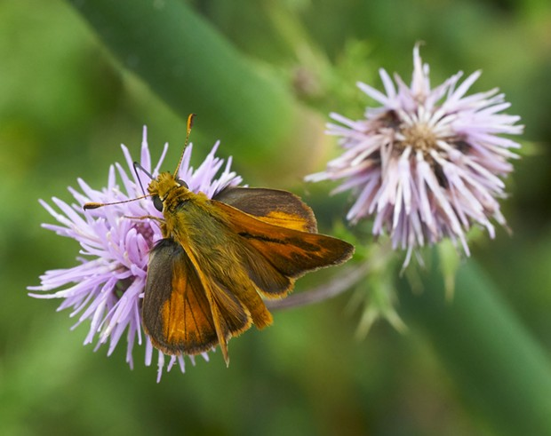 A spunky little skipper on a thistle. - PHOTO BY ANTHONY WESTKAMPER