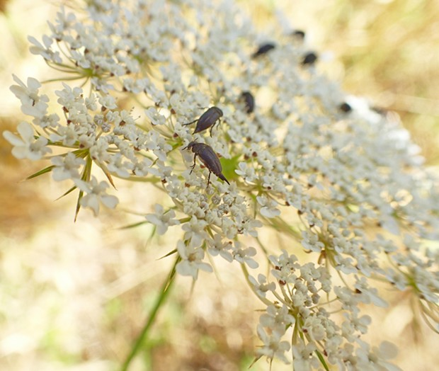 Tumbling flower beetles on Queen Anne's lace. - PHOTO BY ANTHONY WESTKAMPER