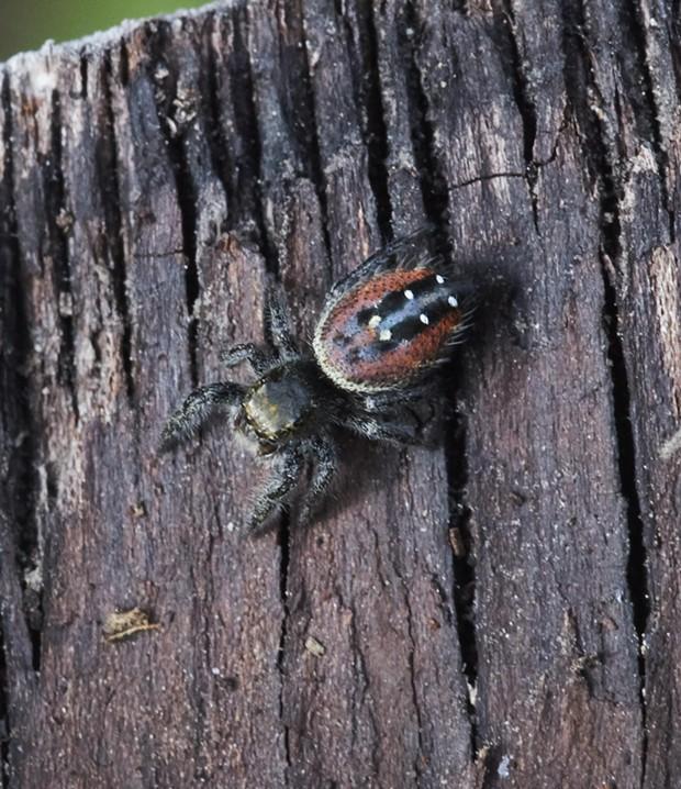 Johnson's jumping spider Phidippus johnsoni. - PHOTO BY ANTHONY WESTKAMPER