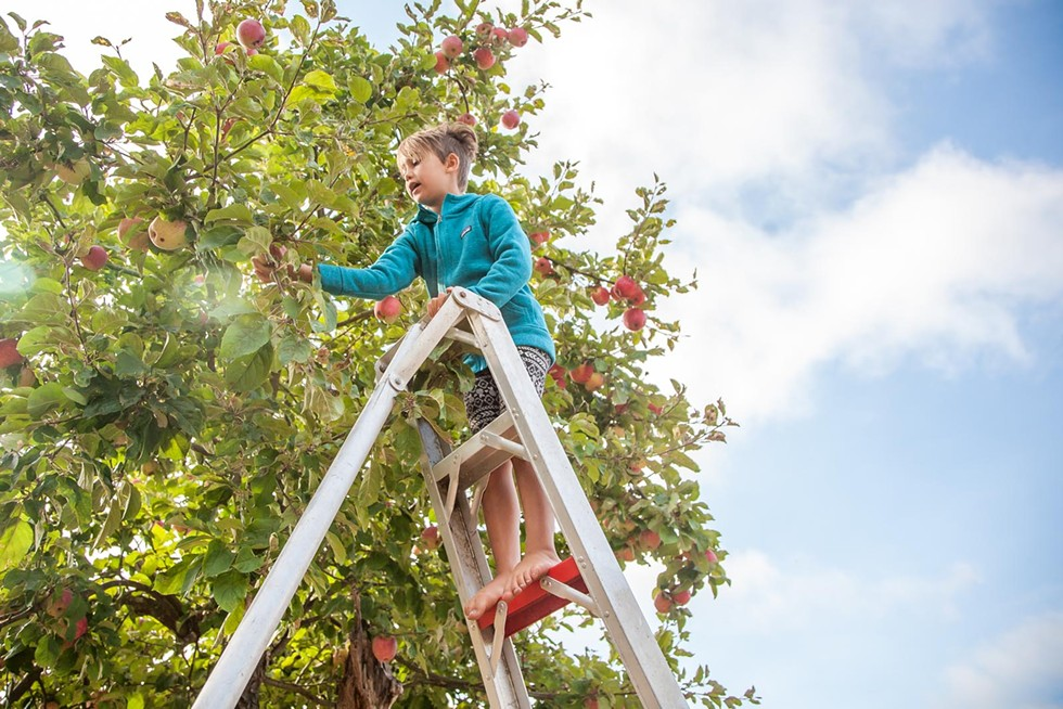 Tallulah Sommer picking apples at the family orchard in Fieldbrook. - AMY KUMLER