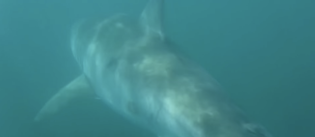 A great white makes its exit in Stockwell's video. - YOUTUBE