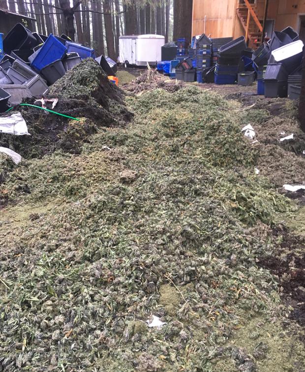 Marijuana bud mounded over a trench which was created by law enforcement to bury and destroy the seized product. - HCSO