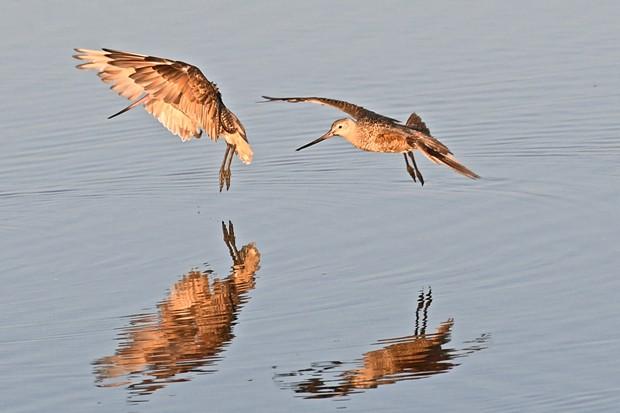 Marbled godwit navigate fishing areas near Klopp Lake at the Arcata Marsh and Wildlife Sanctuary. - JOSE QUEZADA