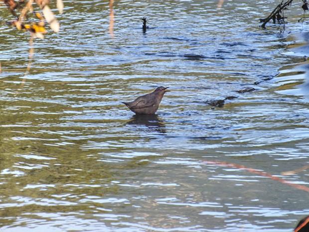 American Dipper (Cinclus mexicanus) Van Duzen River 2011. - PHOTO BY ANTHONY WESTKAMPER