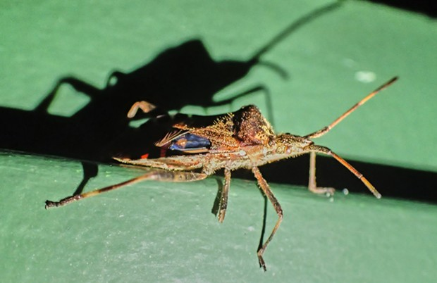 Western conifer seed bug Leptoglossus occidentalis. - PHOTO BY ANTHONY WESTKAMPER
