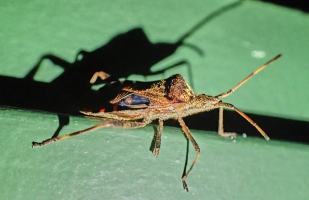Western conifer seed bug Leptoglossus occidentalis. - PHOTO BY ANTHONY WESTKAMPER