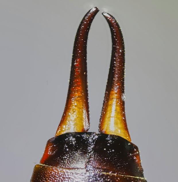 Female earwig cerci. - PHOTO BY ANTHONY WESTKAMPER