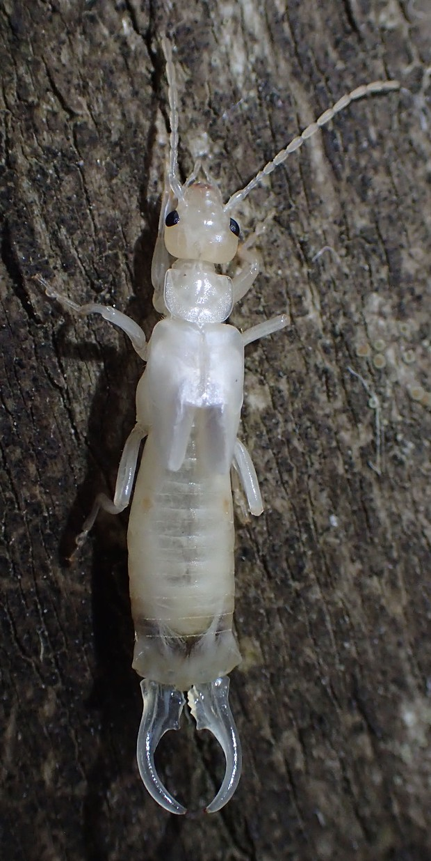 Newly molted white earwig. - PHOTO BY ANTHONY WESTKAMPER
