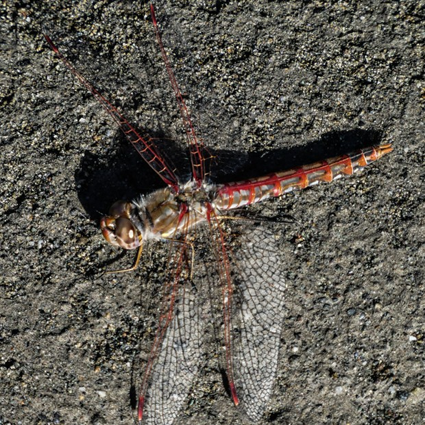 Closeup of a variegated meadowhawk. - PHOTO BY ANTHONY WESTKAMPER