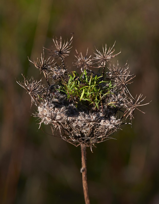 Queen Anne's lace captive seeds. - PHOTO BY ANTHONY WESTKAMPER