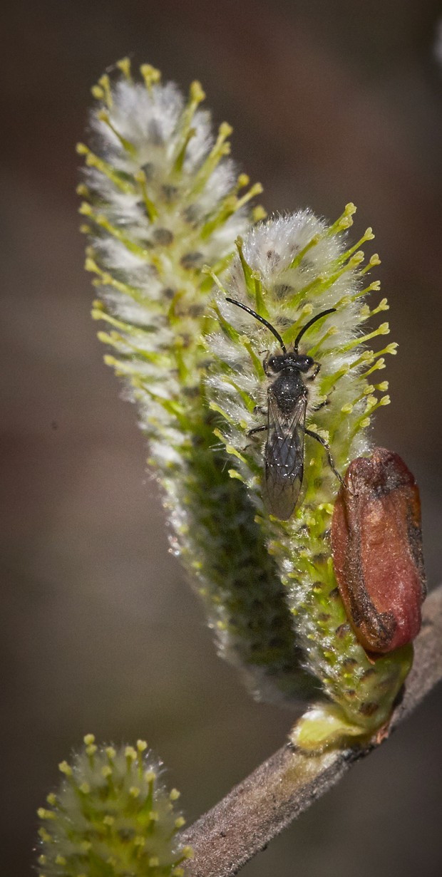 Tiny wasp or bee on a willow. - PHOTO BY ANTHONY WESTKAMPER