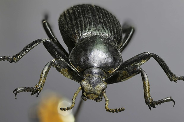 Darkling beetle stacked image. Ya' got a little dung  on your face there, buddy. - PHOTO BY ANTHONY WESTKAMPER
